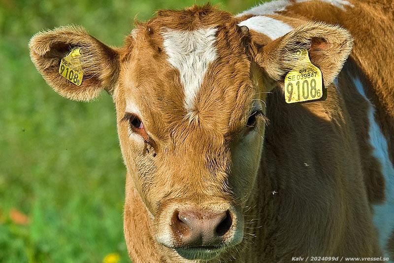 hur gammal blir en ko